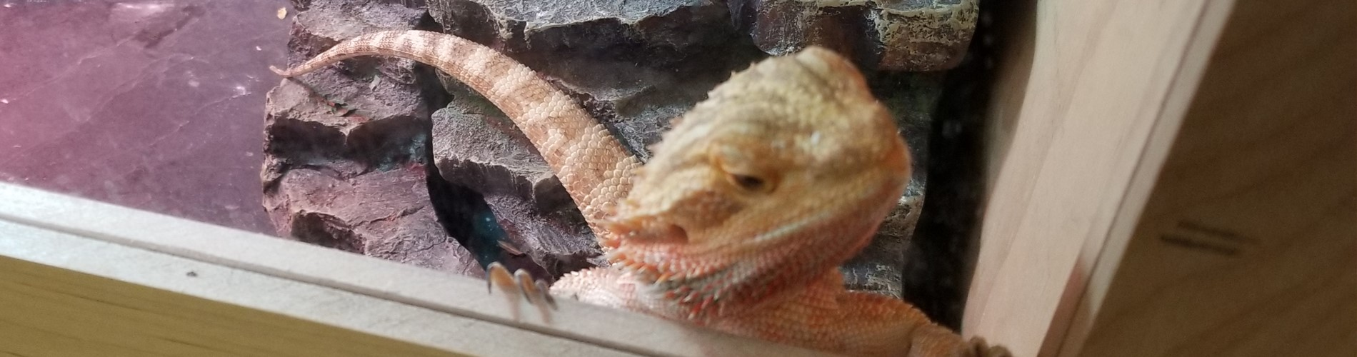 Lincoln, the school's bearded dragon